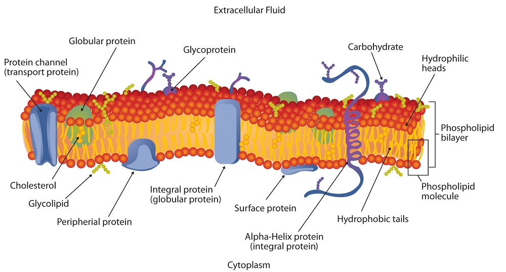 a hydrophilic head Hydrophobic regions associate with the hydrophobic interior of the plasma membrane and hydrophilic regions extend past the surface of the membrane into either the.